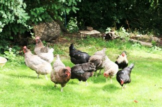 Our chickens